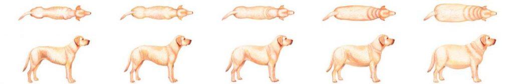 perfect_weight_bcs_dog_sprite_indice_corporel_chien_hillspet.be